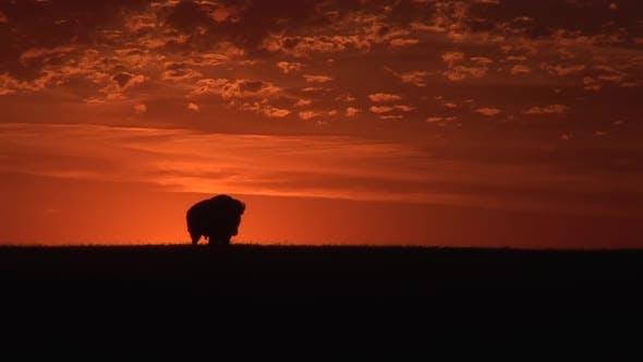 Bison Bull Adult Lone Walking Moving in Summer Sunrise Morning Silhouette Orange Sky