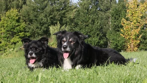 Thumbnail for Two dogs lying on grass