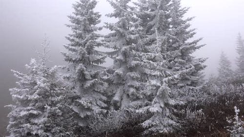 Hoarfrost Rime Accumulating on Pine Tree Leaves