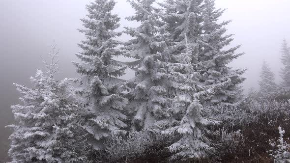 Thumbnail for Hoarfrost Rime Accumulating on Pine Tree Leaves