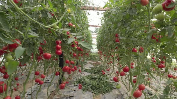 Rows of Tomatoes Growing in Greenhouse