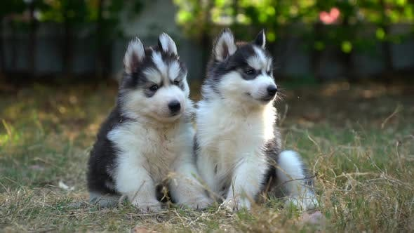 Two Siberian Husky Puppies Sitting In The Park
