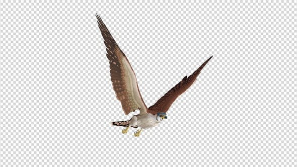 American Kestrel - 4K Flying Loop - Side Angle