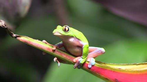 Golden-eyed Leaf Frog Adult Lone Looking Around Turning Around