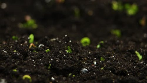 Sprouts Germination