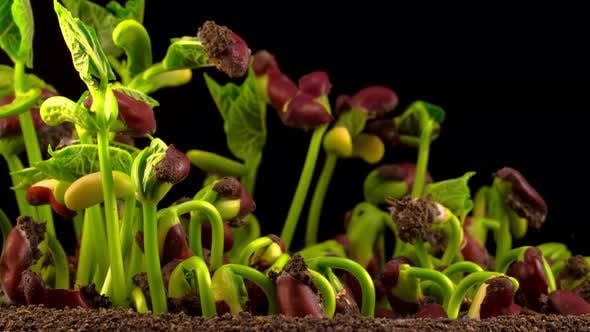 Cover Image for Beans Germination on Black Background