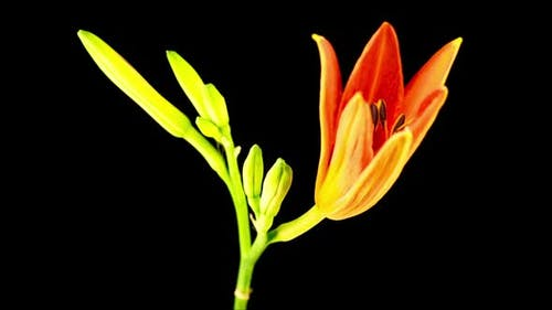 Time Lapse of Beautiful Red Lily Flower Blossoms