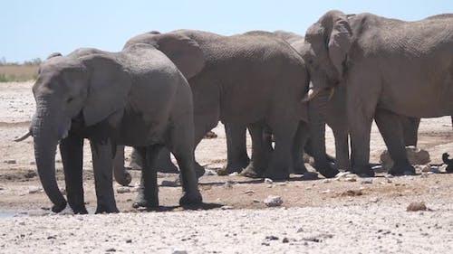 Elephant pushing the other