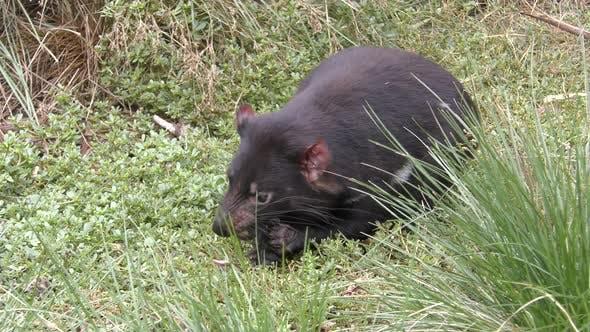 Thumbnail for Tasmanian Devil Adult Lone Eating Feeding Scavenging
