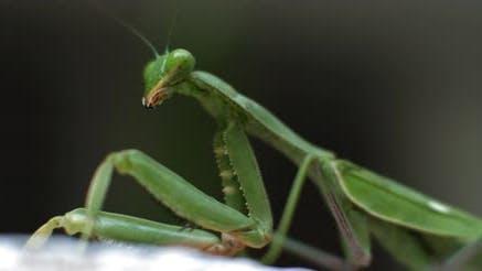 Macro shot of the praying mantis on a green bokeh background