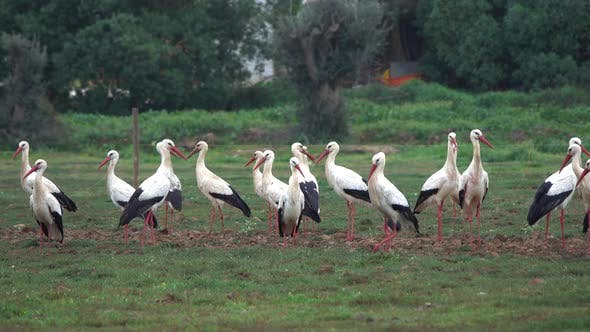 Thumbnail for A Flock of White Storks Resting in Fields