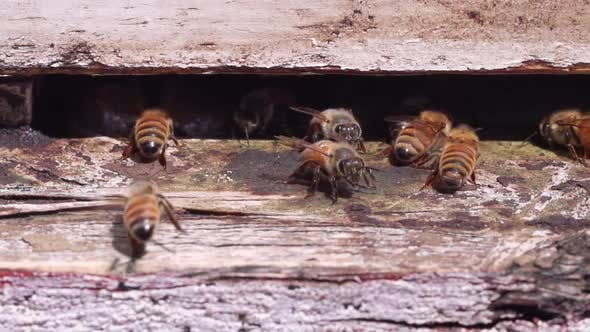 Bees Landing At Hive Slow Motion