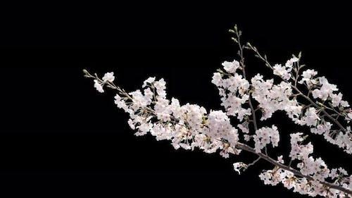 Cherry Blossom With Alpha