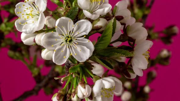 Cover Image for Sour Cherry Blossom Timelapse on Red
