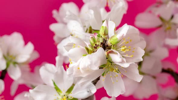 Cover Image for Almond Flower Blossom Dolly Timelapse 2