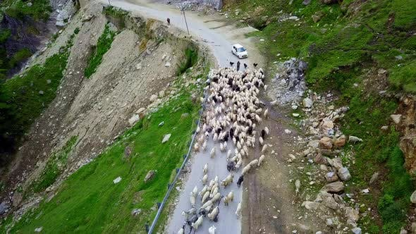 Thumbnail for Aerial View of Highway Blocked By Flock of Sheeps in Manali , Himachal Pradesh