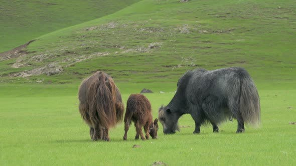 Thumbnail for Gray and Brown Yaks Grazing in the Grassland