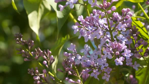 Thumbnail for Blooming Lilac on a Sunny Day