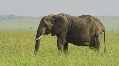 Elephant eating in Africa
