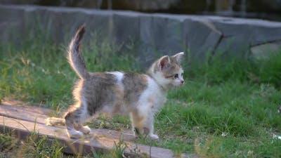 Cute Persian Kitten Walking In The Park