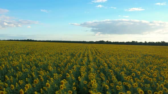 Thumbnail for Sunset At The Sunflower Field Aerial View 2