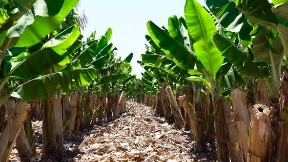 Thumbnail for Young Banana Plants In Rural Farm. Banana Tree Grove On Island With The Road Cut Down.
