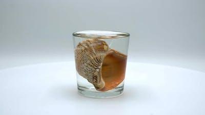 Rapana sea shells on a white background