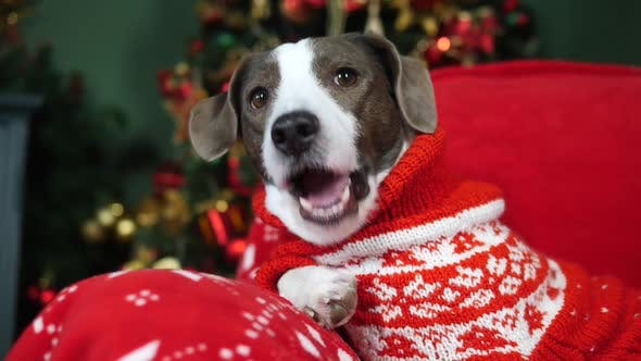 Thumbnail for Cute Dog Eating A Treat Wearing Christmas Sweater Sitting At Home