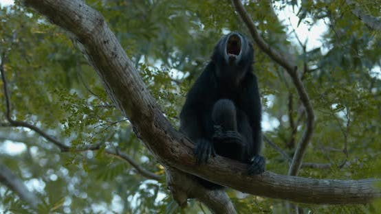 Mantled Howler Monkey Lone Sitting Looking Around Dawn Morning