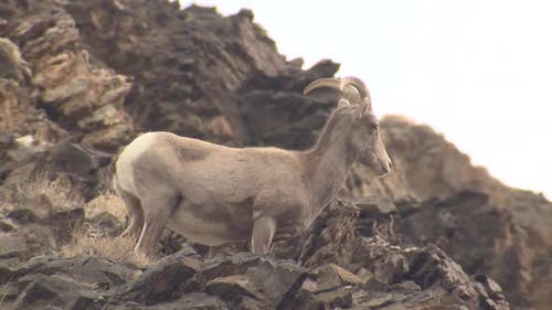 Desert Bighorn Sheep Ewe Female Adult Lone Standing Looking At Camera