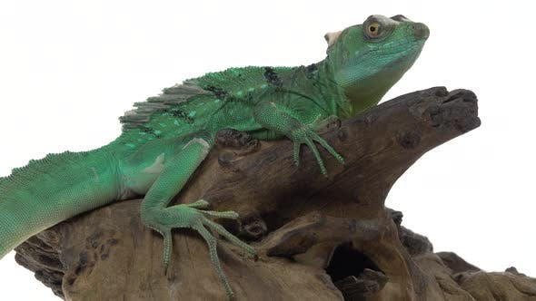 Thumbnail for Green Basilisks or Basiliscus Basiliscus on White Background. Close Up.