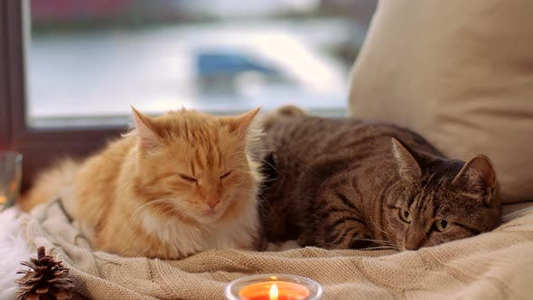 Thumbnail for Two Cats Lying on Blanket at Home Window Sill