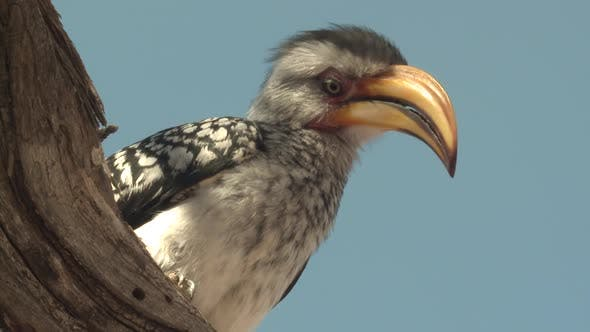 Thumbnail for Southern Yellow-billed Hornbill Lone Looking Around Dry Season Bill