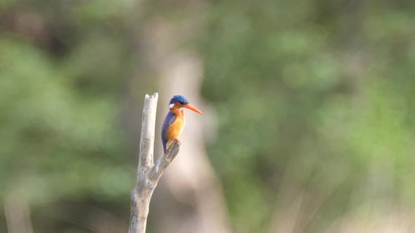 Cover Image for Kingfisher on a branch