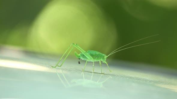 Thumbnail for Speckled Bush-Cricket - Leptophyes Punctatissima