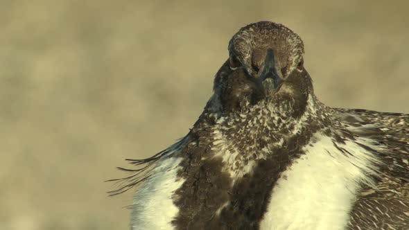 Thumbnail for Sage Grouse Cock Male Adult Lone in Spring Face Beak Feet in Wyoming