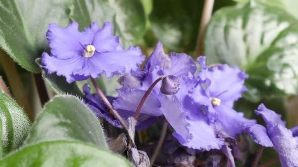 Thumbnail for Beautiful purple plant Saintpaulia ionantha bud and leaves 4K 2160p 30fps UltraHD tilting footage -
