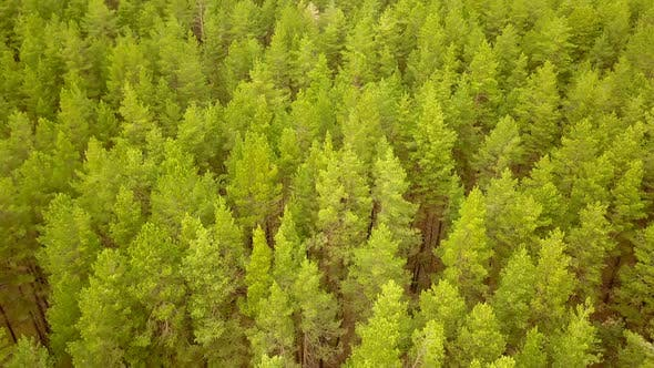 Thumbnail for Green Pine Forest From Above