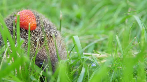Hedgehog with Strawberry on Needles Hides in Forest Grass