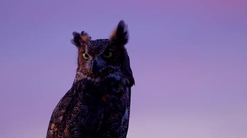 Portrait of a perched Great Horned Owl