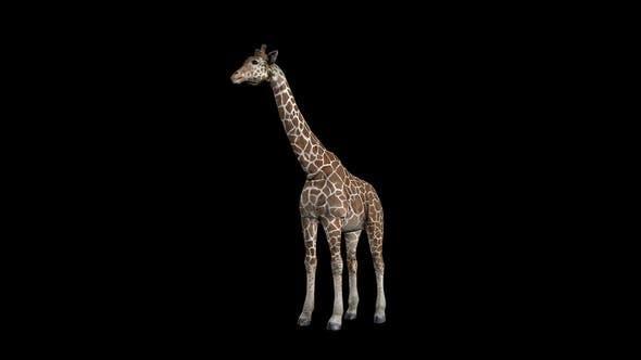 Thumbnail for Giraffe Eat Front