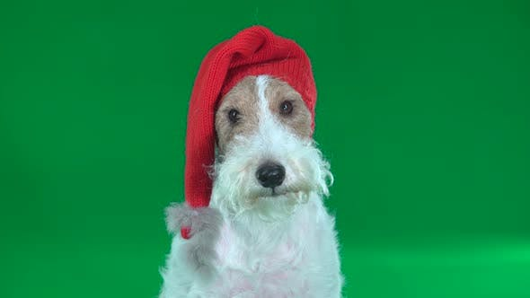 Thumbnail for Fox Terrier in a Christmas Hat Close-up. Green Screen