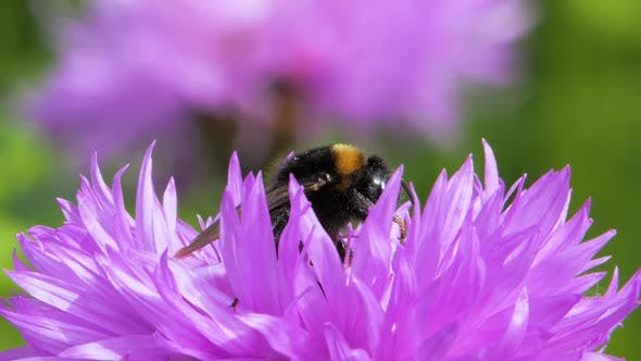 Thumbnail for Bumblebee Is Gathering Pollen for Honey on Flowers, Close Up, Macro Shot