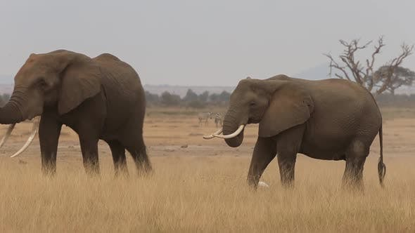Thumbnail for Huge Male Elephant Walking