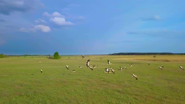 Thumbnail for White Storks Fly Over Green Fields