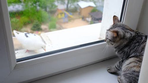 Gray Striped Tabby Cat Watching at Dove at Balcony