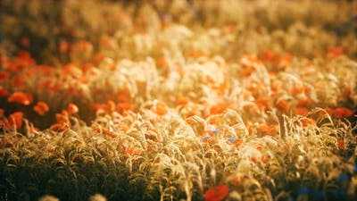 Sunset in the Wild Flower Field