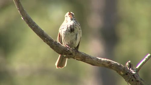 Song Sparrow Adult Lone Calling Singing Song in Summer Singing