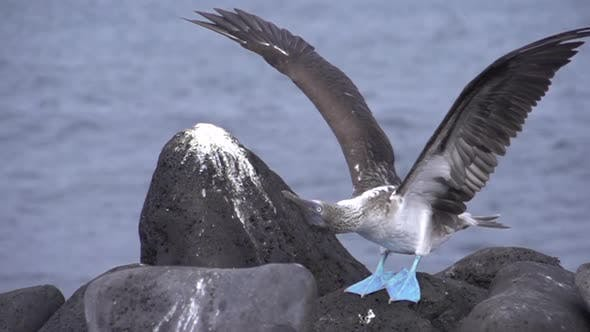 Cover Image for Blue footed booby stretching his wings