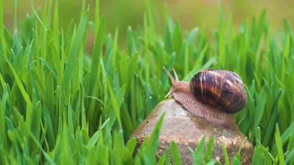 Thumbnail for Snail Crawls Along Green Grass